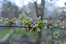 Blooming Cherry Buds In Springtime. Wild Cherry (Prunus Avium). Spring.