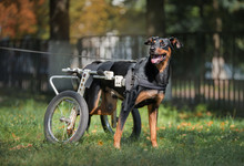Happy Big Dog In Wheelchair Or...