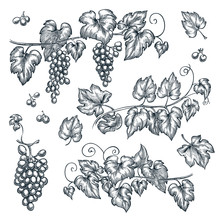 Grape Vine Sketch Vector Illustration. Hand Drawn Isolated Design Elements