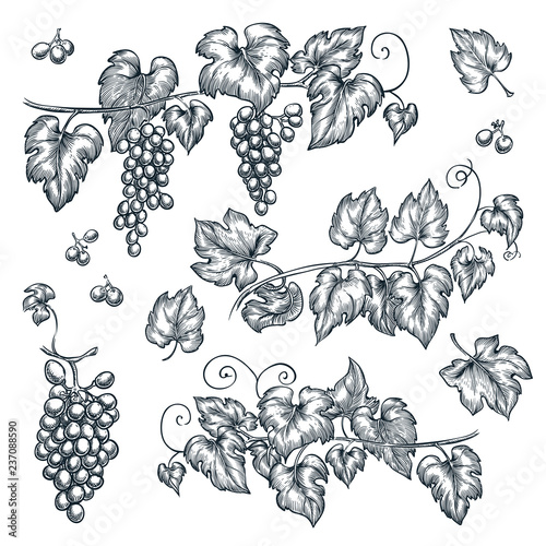 Fotografia Grape vine sketch vector illustration