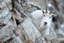 Mountain Goat In The Cliffs-Bi...