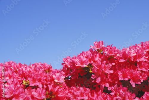 Photo sur Aluminium Azalea ツツジ 空 素材