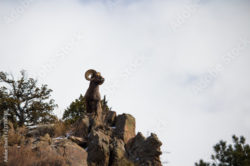 An adult bighorn sheep holds a majestic pose atop a cliff in the Rocky Mountains Canvas Print