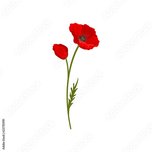 fototapeta na ścianę Blooming bright red poppy flowers with stem, floral design element vector Illustration on a white background