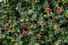 Holly Plant Christmas Background With Red Berries