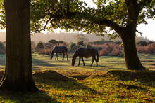 Two Horses New Forest