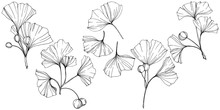 Vector. Engraved Black And White Ginkgo Leaf. Plant Botanical Garden. Isolated Ginkgo Illustration Element.