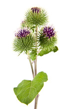 Burdock Flowers Isolated On Wh...