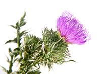 Milk Thistle Isolated On White...