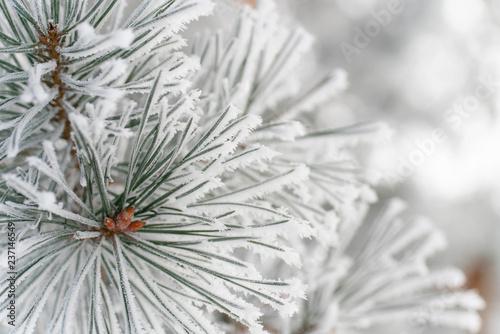 Fotografia, Obraz  frozen pine needle