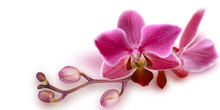 Pink Orchid With Unopened Buds...