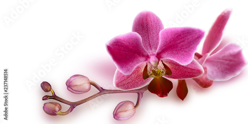 Garden Poster Spa Pink Orchid with unopened buds on white background
