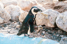 African Penguin Standing On Th...
