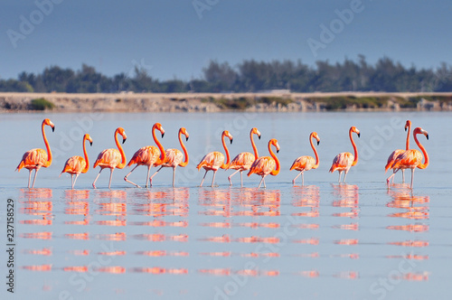 In de dag Flamingo A row of American flamingos (Phoenicopterus ruber ruber American Flamingo) in the Rio Lagardos, Mexico.