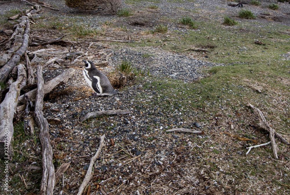 penguin in Ushuaia Argentina