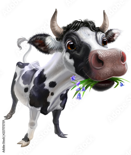 Fotografering black cow with white spots isolated on white, fisheye effect