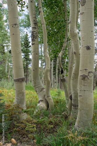 Deurstickers Berkbosje aspen trees