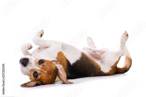 Adult beagle dog lying on back isolated on white background Canvas Print