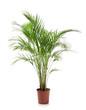 canvas print picture Decorative Areca palm on white background
