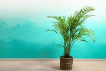 Decorative Areca Palm Near Color Wall