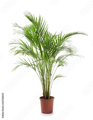 Carta da parati Decorative Areca palm on white background