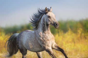 Horse run gellop  in meadow free
