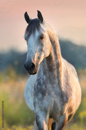 Photo  Grey arabian stallion portrait at sunrise light outdoor on pasture