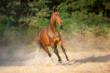 Bay horse run gallop with dust