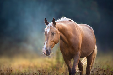 Cream horse close up portrait in motion in fog morning at sunlight