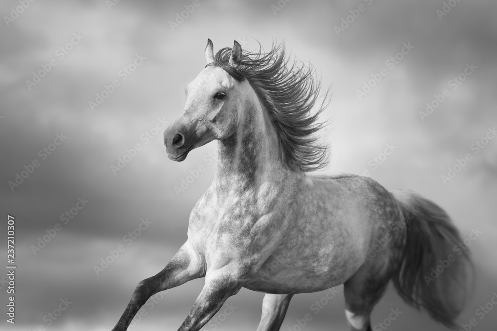 Arabian horse portrait with long mane in motion. Black and white
