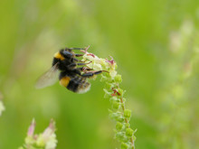 Banded White Tailed Bee