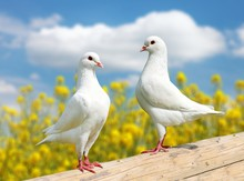 Two White Pigeons On Perch