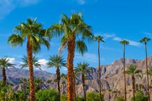 Palm Trees With Mountain Range...