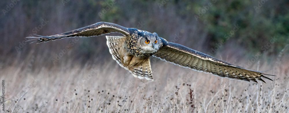 Fototapety, obrazy: Eurasian eagle owl (Bubo bubo) flying over a field in Gloucestershire (trained bird)