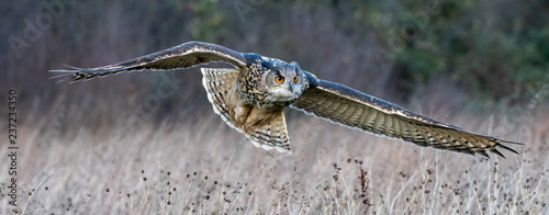 Spoed Fotobehang Uil Eurasian eagle owl (Bubo bubo) flying over a field in Gloucestershire (trained bird)