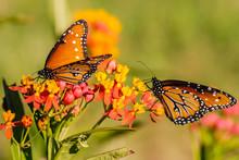 Monarch Butterfly  (Danaus Ple...