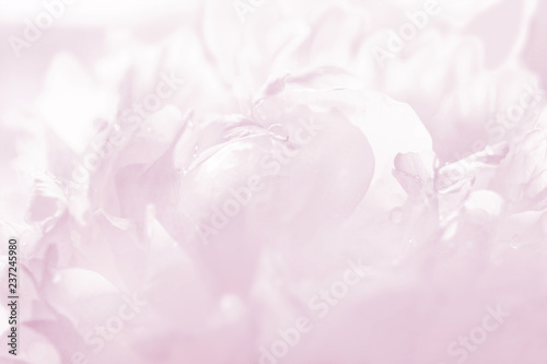 Graceful pastel pink peony background, great for greeting, valentine's day cards, wedding invitations, etc.