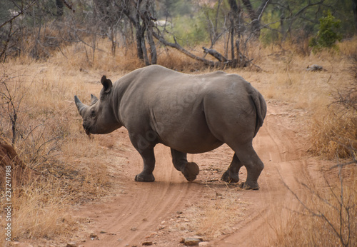 rhino crossing dirt road in South African game preserve