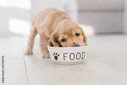 Keuken foto achterwand Hond English cocker spaniel puppy eating dog food