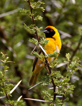 Southern Masked Weaver Perching On The Branch Of A Thorn Tree.