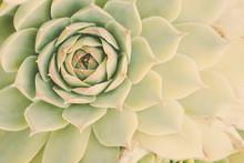 Pastel Succulent Flower Closeup