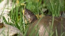 Close Up Of Head Of Three Toed...