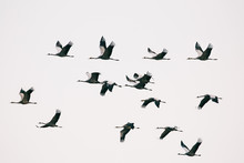 Migration - Fifteen Common Cranes Flying South