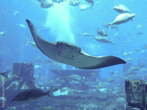 Photo Manta Ray and Fish in the Lost Chambers Aquarium in the Atlantis, The Palm in Dubai, United Arab Emirates