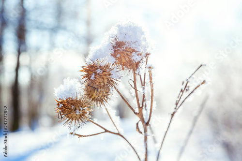 Frosty burdock grass in snowy forest, cold weather in sunny morning Fototapete