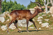 The Nile Lechwe Antelope