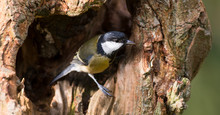 Great Tit In A Hollow Tree