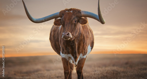 La pose en embrasure Texas cow on the beach
