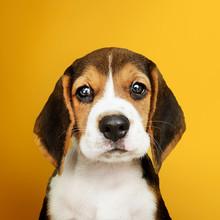 Adorable Beagle Puppy Solo Por...