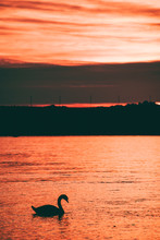 Silhouetted Swan Swimming During Dramatic Golden Sunrise